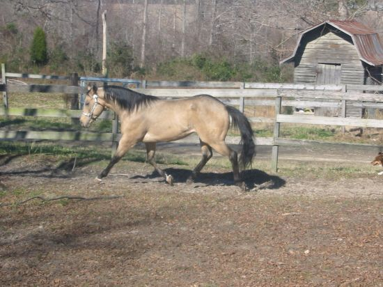 Buckskin Quarter Horse Stallion for Sale in North Carolina