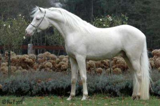Cremello Arabian Stallion