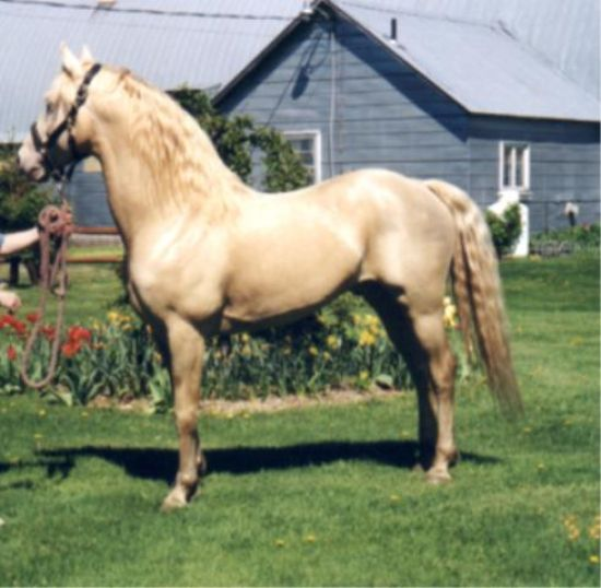 Cremello Morgan Stallion for Sale in New York