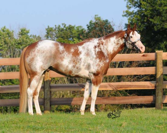 Sorrel Paint Stallion