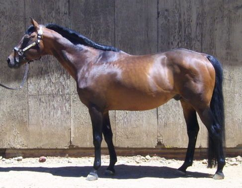 Bay Quarter Horse Stallion for Sale in California