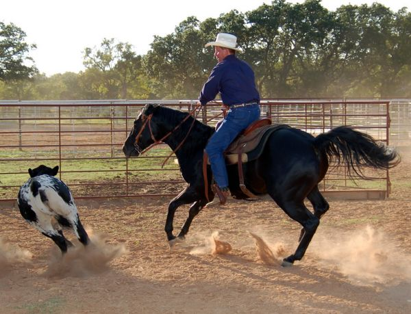 Black Quarter Horse Stallion for Sale in Texas