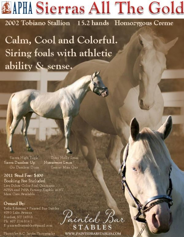 Perlino Paint Stallion for Sale in New York