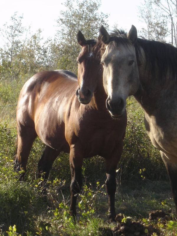 Bay Quarter Horse Stallion for Sale in Saskatchewan