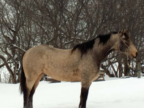 Buckskin Other Stallion