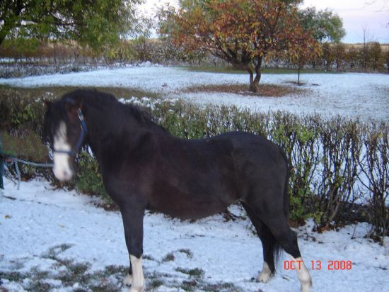 Bay Quarter Horse for Sale in Saskatchewan