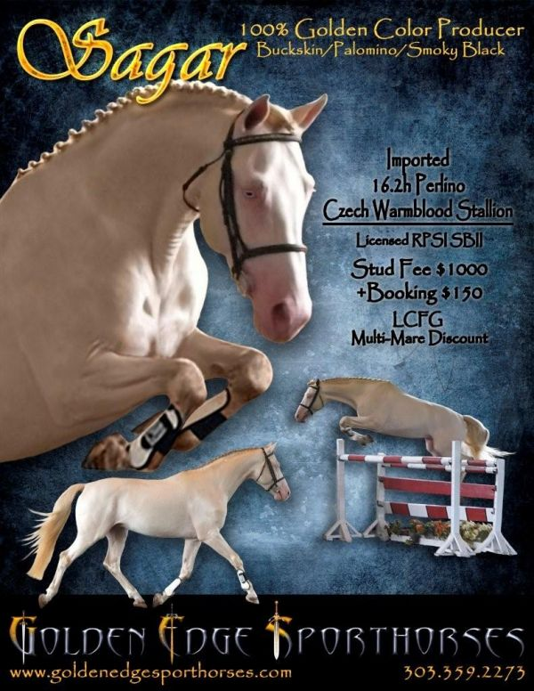 Perlino Warmblood Stallion for Sale in Colorado