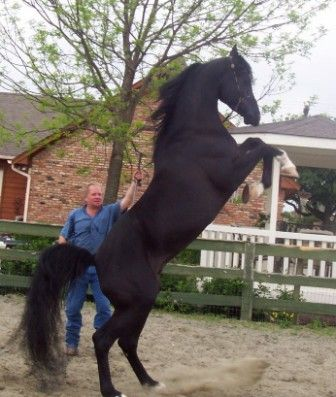 Black Arabian Stallion