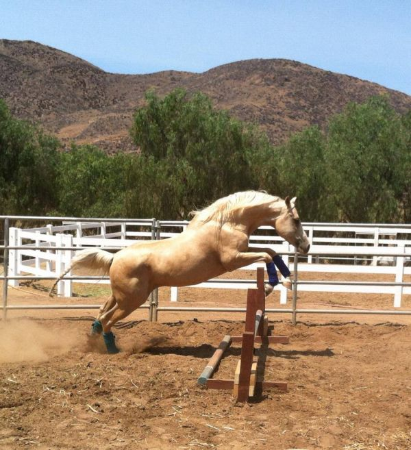 Palomino Arabian Stallion for Sale in California