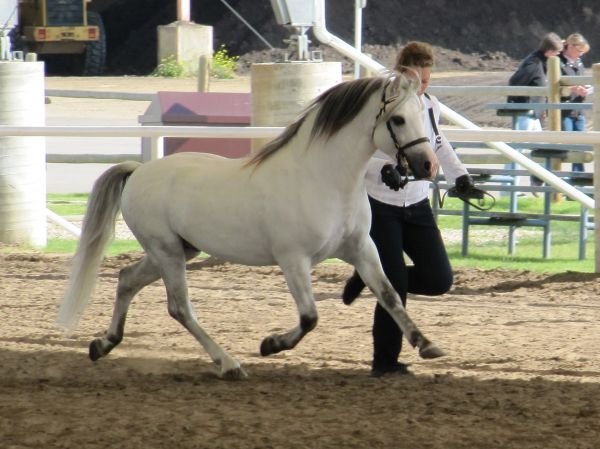 Grey Welsh Pony Stallion for Sale in Alberta