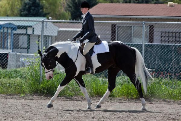 Black Paint Stallion for Sale in British Columbia