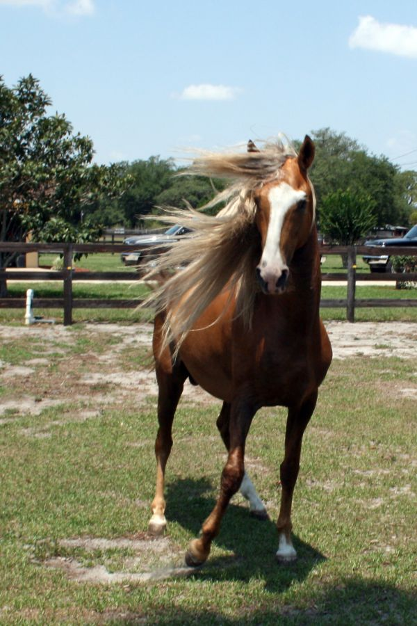 Palomino Peruvian Paso Stallion for Sale in Florida