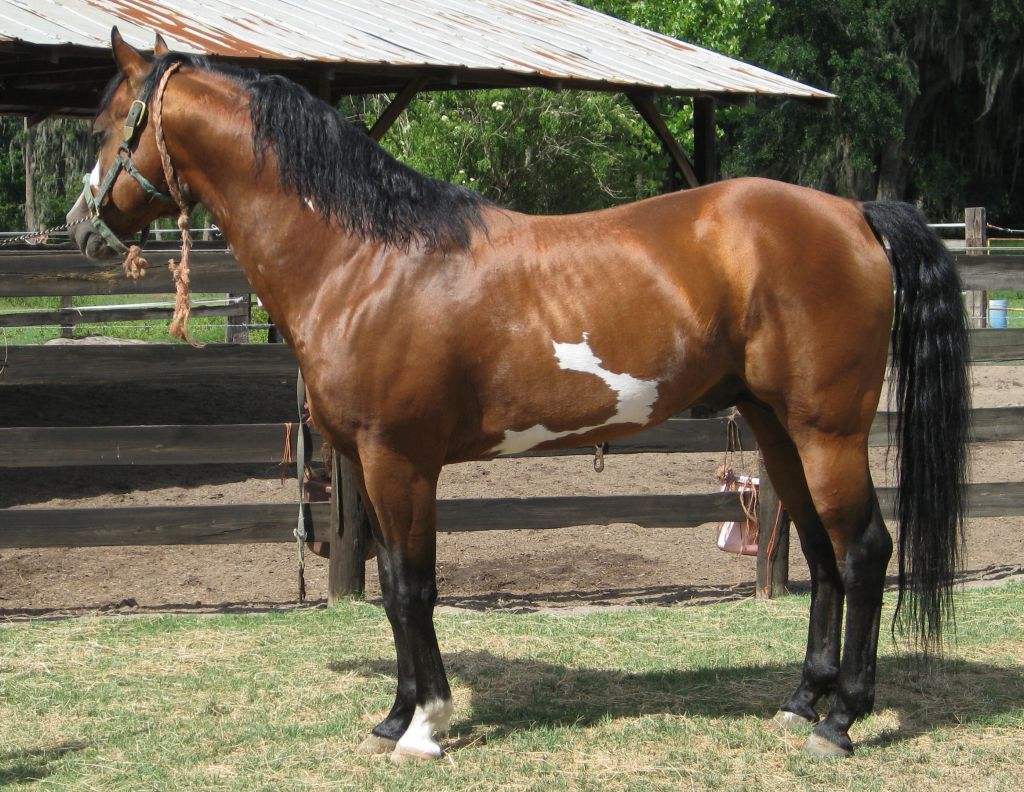 Bay Overo Paint Stallion
