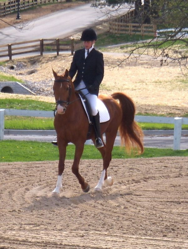 Chestnut Arabian Stallion for Sale in Ohio