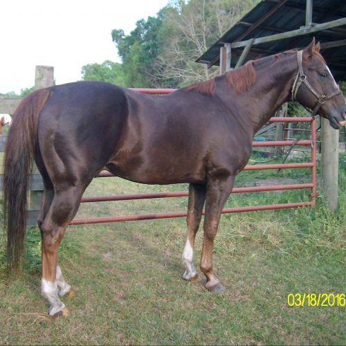 Sorrel Quarter Horse Stallion for Sale in Florida