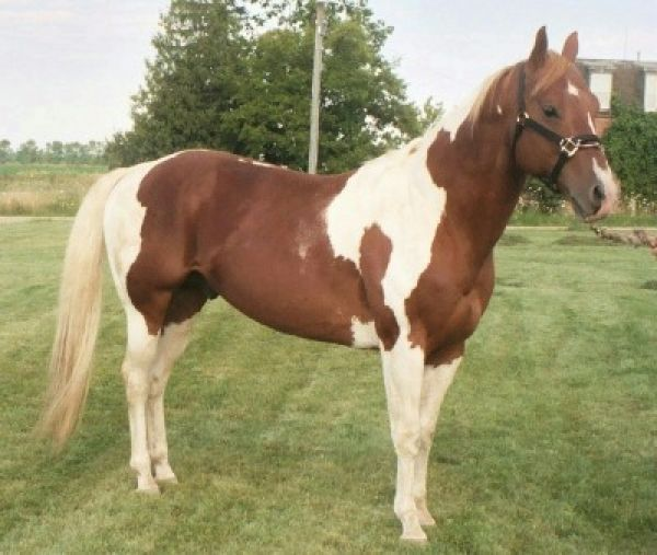 Sorrel Paint Stallion for Sale in Michigan