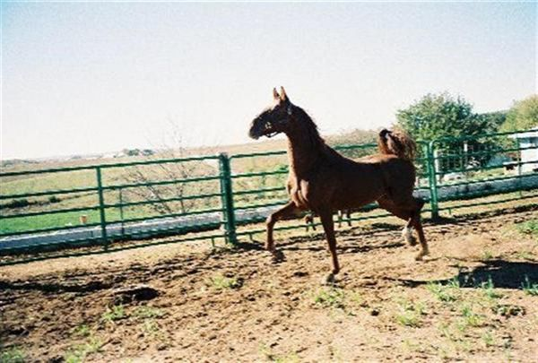 Chestnut Saddlebred Stallion for Sale in Iowa