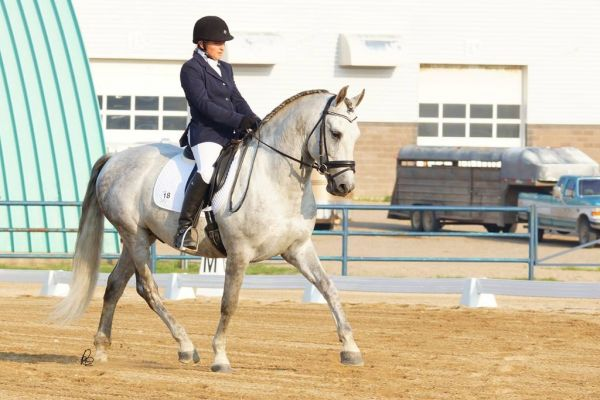 Grey Andalusian Stallion for Sale in Saskatchewan