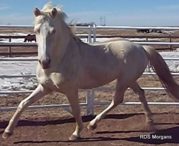 Cremello Morgan Stallion