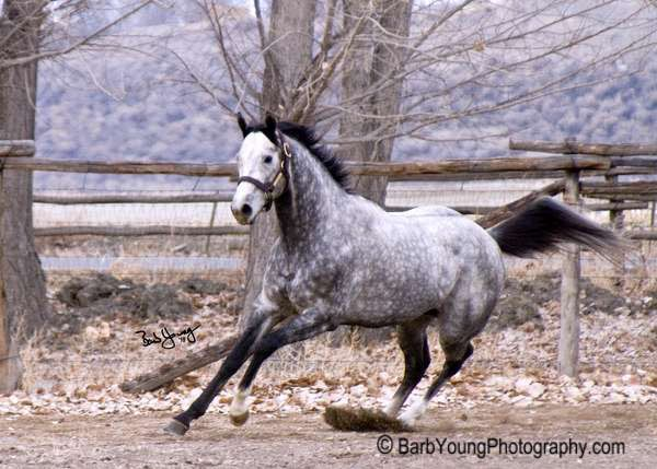 Grey Thoroughbred Stallion for Sale in Colorado