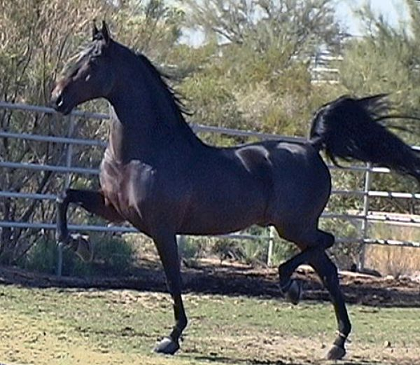 Brown Saddlebred Stallion