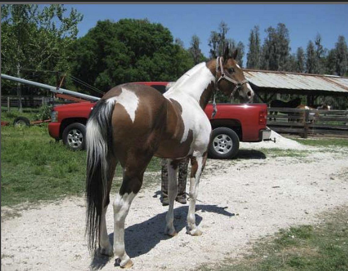 Tobiano Paint Stallion
