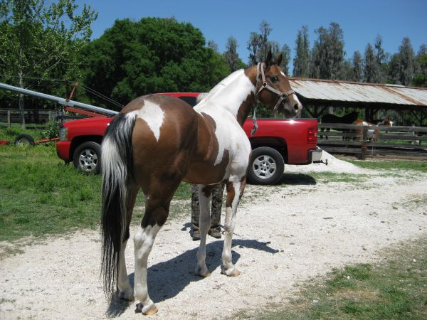 Tobiano Paint Stallion for Sale in Florida