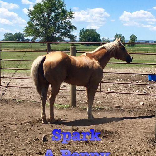 Palomino Quarter Horse Stallion for Sale in South Dakota