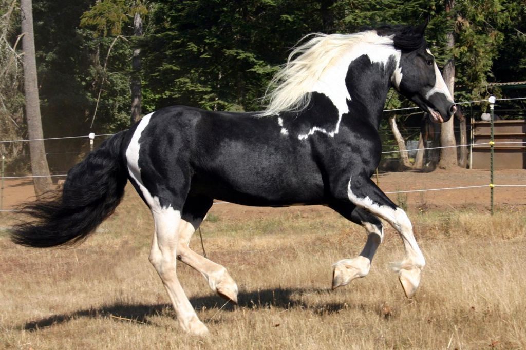 Pinto Warmblood Stallion
