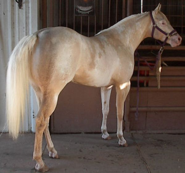 Palomino Paint Horse for Sale in Texas