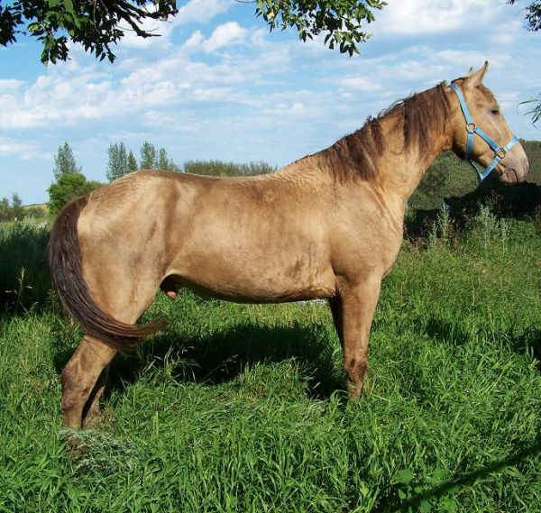 Champagne Curly Stallion for Sale in Saskatchewan