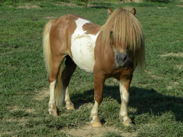 Tobiano Miniature Horse for Sale in Missouri