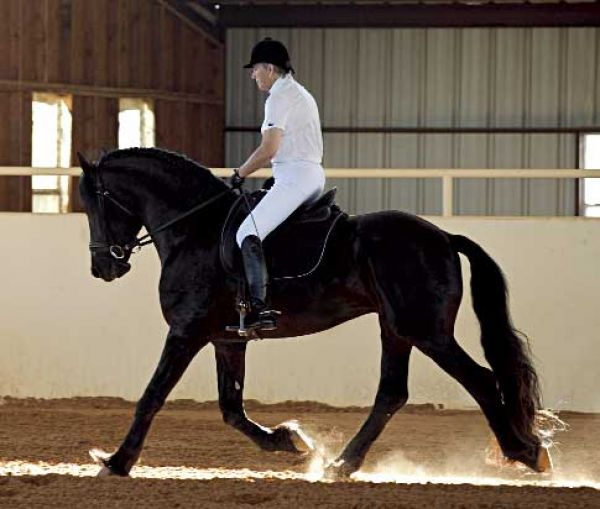 Black Friesian Stallion