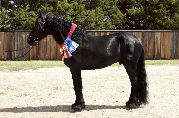 Black Friesian Stallion for Sale in Texas
