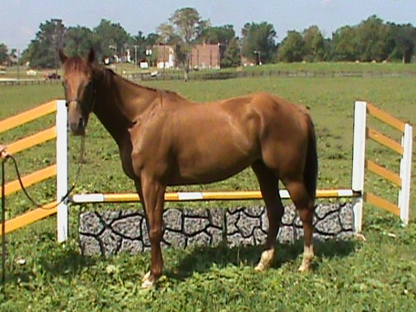 Liver Chestnut Thoroughbred Horse for Sale in Kentucky