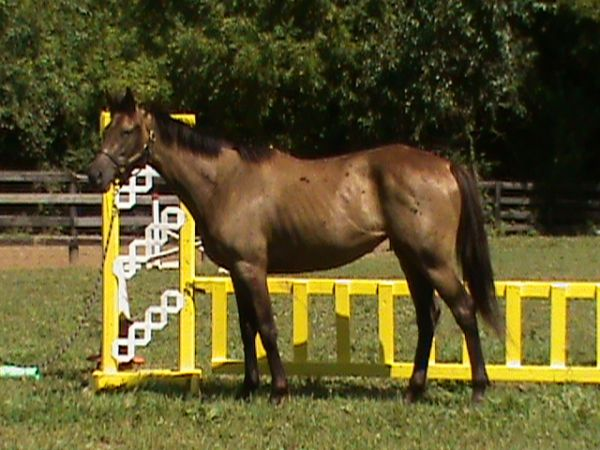 Bay Thoroughbred Horse for Sale in Kentucky