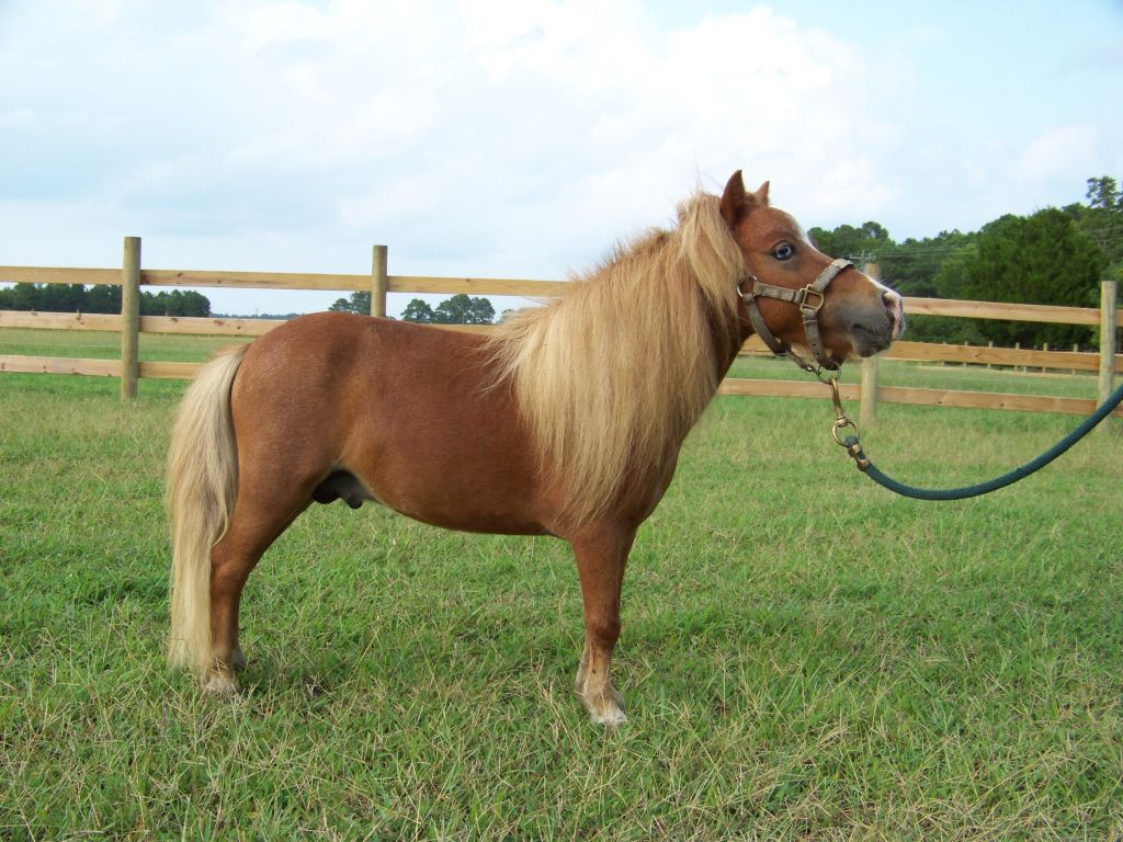Sorrel Miniature Stallion