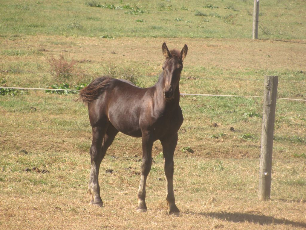 Black Dutch Warmblood Colt