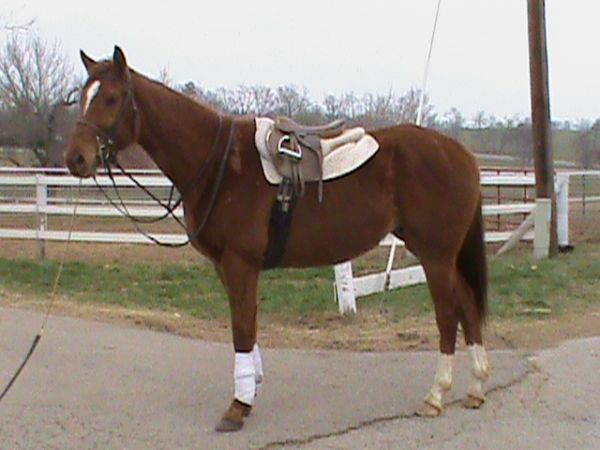 Chestnut Thoroughbred Horse for Sale in Kentucky
