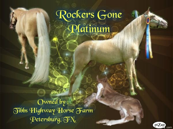 Overo Tennessee Walking Stallion
