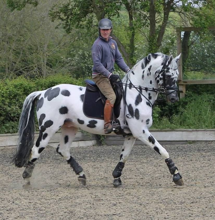 Other Appaloosa Stallion
