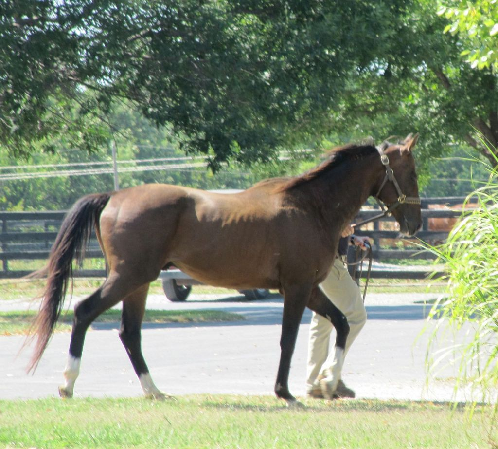 Bay Thoroughbred Stallion