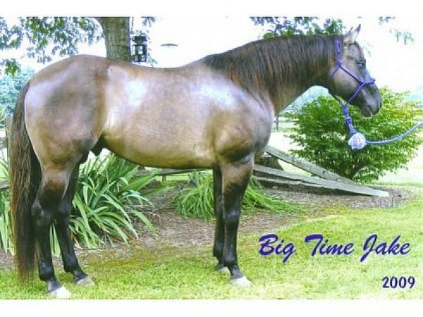 Grulla Quarter Horse Stallion for Sale in Indiana