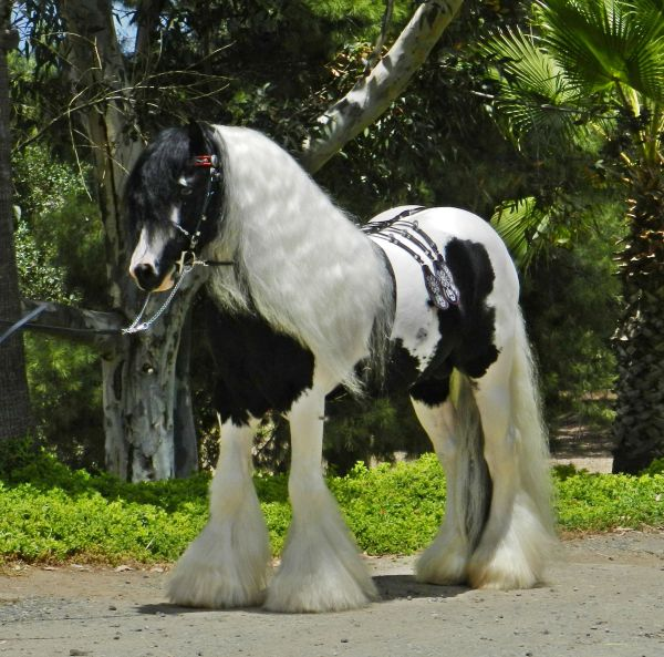 Piebald Gypsy Vanner Stallion for Sale in California