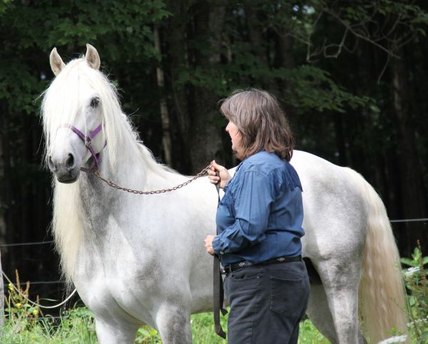 Grey Morgan Stallion for Sale in New York