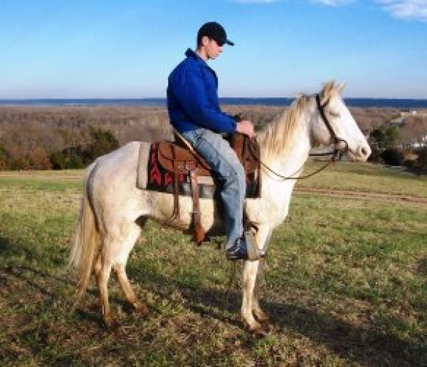 White Missouri Fox Trotter Horse for Sale in