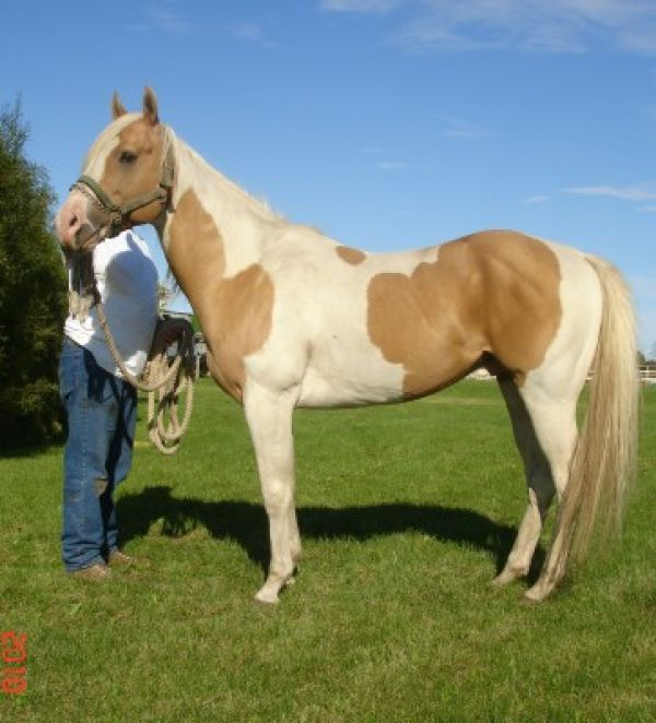 Palomino Paint Stallion