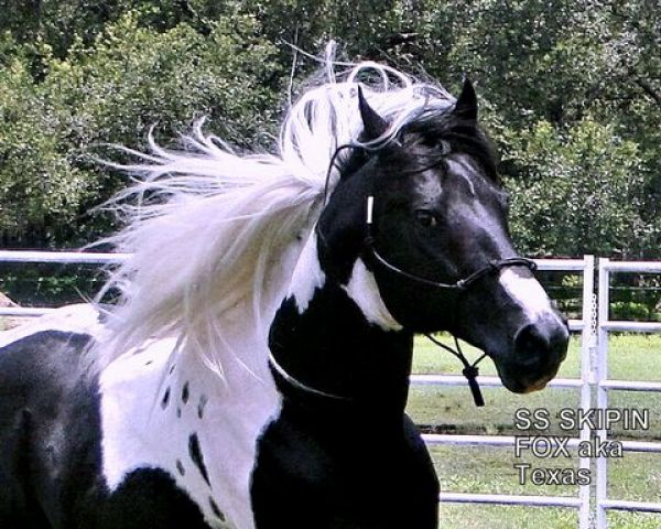 Black Paint Stallion for Sale in Florida