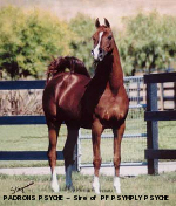 Chestnut Arabian Stallion for Sale in Texas