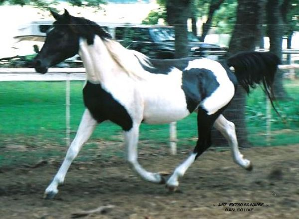 Piebald Pinto Stallion for Sale in Texas
